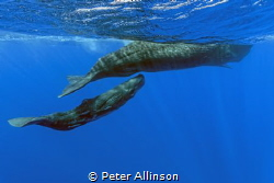 Taken under permit, mother sperm whale and her calf by Peter Allinson